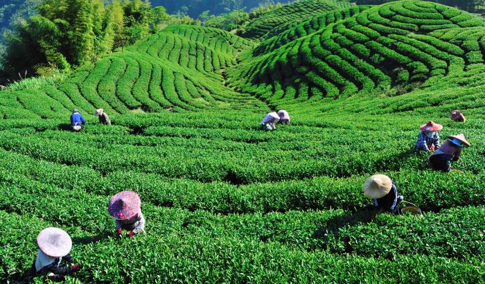 Bois-Cheri-Tea-Factory-Mauritius.jpg